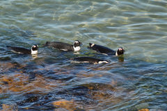 African penguins in Betty's bay Stock Images