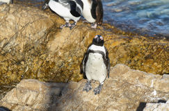 African penguins in Betty's bay Royalty Free Stock Images