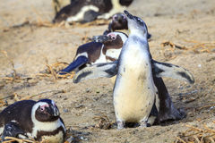 African penguins. At Boulder Beaach in Simon`s Town, South Africa Royalty Free Stock Image