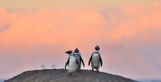 African penguins on the boulder in sunset light sky. Royalty Free Stock Image