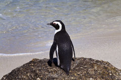 African Penguins at Boulders Beach Royalty Free Stock Photography