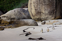 African penguins on Boulders Beach Royalty Free Stock Photo