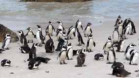 African Penguins on Boulders Beach, Cape Town Royalty Free Stock Photography