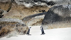 African penguins on Boulders Beach Stock Photography