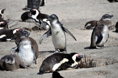 African penguins on Boulders Beach Stock Images