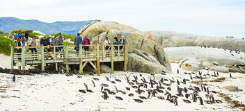 African Penguins on Boulders Beach in South Africa Stock Photography