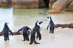 African penguins at Boulders beach, South Africa royalty free stock photo