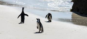 African Penguins at Boulders Beach Stock Images