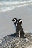 African Penguins at Boulders Beach Royalty Free Stock Photos