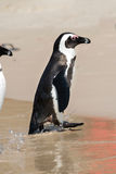 African Penguins at Boulders Beach Stock Photography
