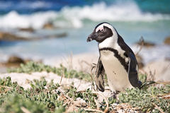 African penguins, Boulders Park, South Africa Royalty Free Stock Images