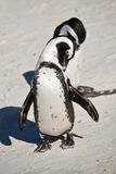 African penguins, Boulders  Park, South Africa Royalty Free Stock Photo