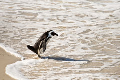 African penguins, Boulders Park, South Africa. African penguins, Boulders national Park, South Africa Stock Photography