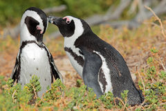 African penguins Stock Photos