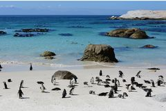 African Penguins, Cape Peninsular, South Africa. African Penguins, Boulders Beach, nr Simon`s Town, Cape Peninsular, South Africa. African Penguins used to be royalty free stock photos