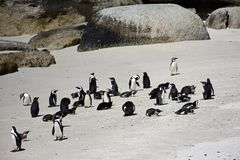 African Penguins, Cape Peninsular, South Africa. African Penguins, Boulders Beach, nr Simon`s Town, Cape Peninsular, South Africa. African Penguins used to be stock images