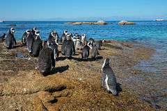 African penguins on coastal rocks Royalty Free Stock Image