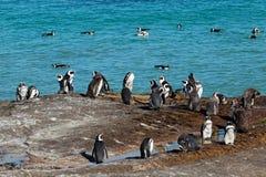 African penguins on coastal rocks Royalty Free Stock Image