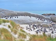 African penguins colony Royalty Free Stock Photography