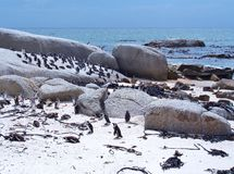 African penguins colony Royalty Free Stock Image