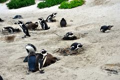 African Penguins colony at Boulders Beach. African penguins colony on Boulders Beach in Simons Town, Western Cape, South Africa Table Mountain National Park royalty free stock images