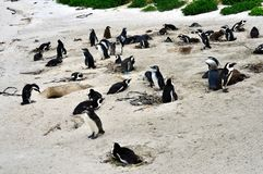 African Penguins colony at Boulders Beach. African penguins colony on Boulders Beach in Simons Town, Western Cape, South Africa Table Mountain National Park royalty free stock photography
