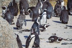 African penguin colony at Boulders beach, South Africa stock image