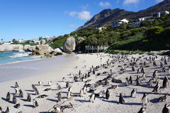 African Penguins colony at Boulders Beach, Table Mountain Nation Stock Image
