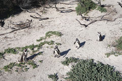 African Penguins colony at Boulders Beach, Table Mountain Nation Stock Photo