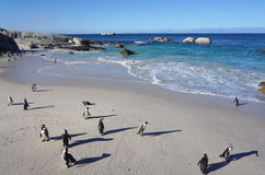 African Penguins colony at Boulders Beach, Table Mountain Nation Stock Photography