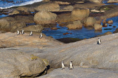 African penguins coming ashore. Group of African or Jackass penguins walking ashore at Boulders Beach, South Africa Royalty Free Stock Image