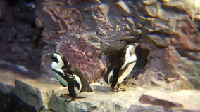 African Penguins. Dancing on the rocks Stock Photo