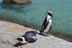 African Penguins. Enjoying the sun at Boulders beach Cape Town Stock Image