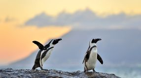 The African penguins  in evening twilight with sunset sky. Royalty Free Stock Photography