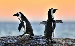 The African penguins  in evening twilight with sunset sky. Stock Photo