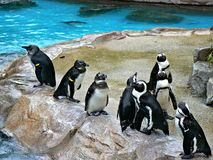 African penguins. Gathering on a rocky platform beside a pool in Jurong Bird Park in Singapore Stock Image