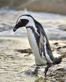 African penguins go ashore from the ocean at evening twilight. Stock Image