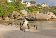 African Penguins. A group of African Penguins on a beach in Southern Africa Royalty Free Stock Photos