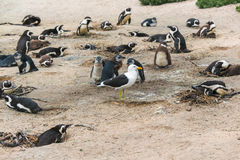 African penguins and intruding seagull Royalty Free Stock Images