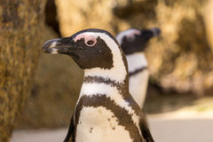 African Penguins look around. On beach, Cape Town, South Africa Stock Images