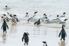 African penguins making way into the water Royalty Free Stock Photo