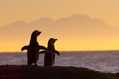African penguins in morning sun. Two African or Jackass penguins warming up in the morning sun on top of a rock, spreading their wings, looking toward the rising Stock Photography