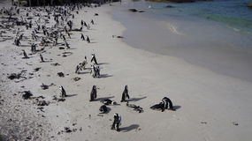 African penguins  in the natural environment Royalty Free Stock Photos