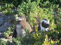 African penguins. Near cape point (South Africa Royalty Free Stock Photography