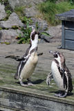 African penguins singing Stock Photography