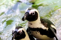 African penguins Stock Images