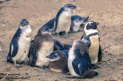 African penguins. African Penguin family at Boulder Beaach in Simon`s Town, South Africa Royalty Free Stock Photos