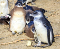 African penguins. African Penguin family at Boulder Beaach in Simon`s Town, South Africa Stock Photos