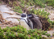 African penguins. African Penguin family at Boulder Beaach in Simon`s Town, South Africa Royalty Free Stock Photography