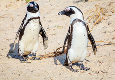 African penguins. African Penguin family at Boulder Beaach in Simon`s Town, South Africa Royalty Free Stock Images